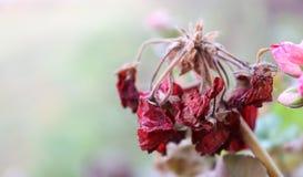 Rött och att blekna blomman arkivfoton