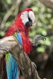 Rött och blått papegojasammanträde på filial Arkivfoton