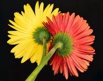 Rött och gult Royaltyfri Bild
