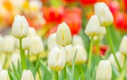 Rött och naturligt vitt tulpanfält royaltyfri foto