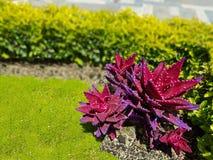 Rött och purpurfärgat vin för exotisk suckulent med härlig naturlig bakgrund arkivbilder