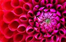 Rött och rosa foto för dahliablommamakro Bild i färg som betonar ljuset - rosa färger och mörker - röda färger royaltyfria bilder