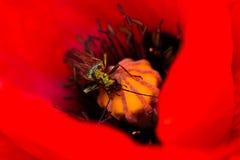 Rött - Oedemera nobilis Arkivfoto