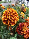 Rött orange, gulingblommor Grön lövverk Royaltyfri Fotografi