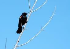 Rött påskynda blackbirden Royaltyfri Fotografi