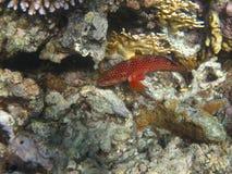 rött prickigt för blå havsaborre Royaltyfria Foton
