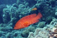 rött prickigt för fisk Arkivfoto