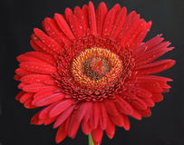 Rött rött Royaltyfri Fotografi
