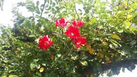 Rött rött rött Royaltyfria Bilder