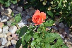 Rött Rose Home Gardening Planting Stock foto royaltyfri bild