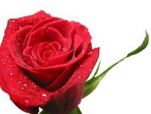 rött rose vatten för liten droppe Royaltyfria Foton