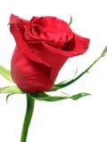 rött rose vatten för liten droppe Arkivfoto