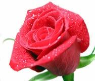 rött rose vatten för liten droppe Royaltyfri Foto