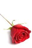 rött rose vatten för liten droppe Arkivbild