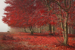 Rött sidaträd i höst Fotografering för Bildbyråer