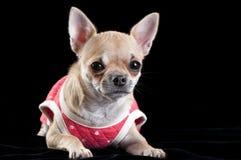 rött slitage för chihuahuahundklänning Royaltyfria Bilder