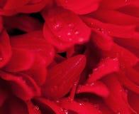 Rött slut för blommatexturbakgrund upp Arkivbilder