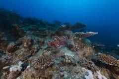 rött smallscale scorpionfishhav Arkivbilder