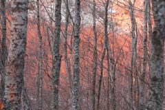 Rött solljus på björkträd Royaltyfri Bild