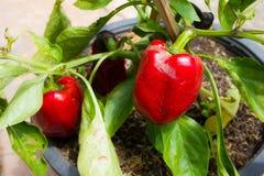 Rött spansk pepparträd Royaltyfri Bild