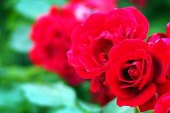 Rött svamla steg royaltyfria bilder