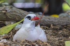 Rött svansTropicbird bygga bo Royaltyfri Foto