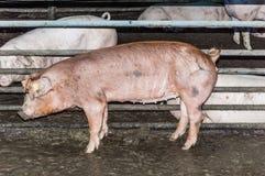 Rött svin på en svinfarm i svinstian Royaltyfria Bilder
