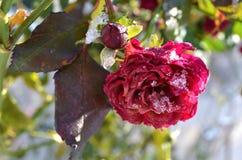 Rött torka rosa i snö Arkivbild