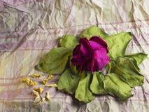 Rött torka rosa på gamla sidor royaltyfri foto