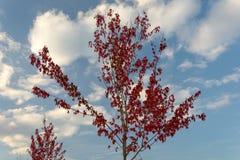 Rött träd för höst och blå molnig himmel Arkivfoto