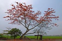 Rött träd för siden- bomull - BombaxCeiba Arkivfoton
