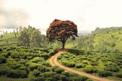 Rött träd - Sri Lanka Royaltyfria Foton