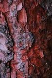 Rött trädskäll, gran, textur, bakgrund arkivbild