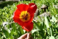Rött tulipan i min hand arkivfoton