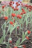 Rött tulpanfält Arkivfoton