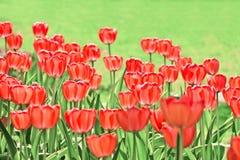 Rött tulpanfält Arkivfoto