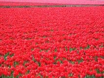 Rött tulpanfält i Nederländerna Royaltyfria Foton