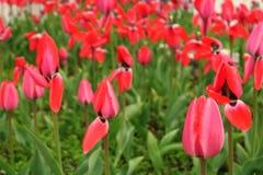 Rött tulpanfält i Nederländerna fields den r?da tulpan R?d tulpansikt Röda tulpanfält i Holland arkivbild