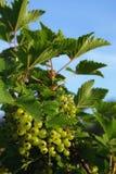 rött unripe för vinbär Royaltyfria Foton