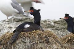 RÖTT VÄNT MOT KORMORANsammanträde i redet i en koloni av seabirds Royaltyfri Fotografi