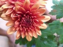 Rött växa för blomma royaltyfri bild