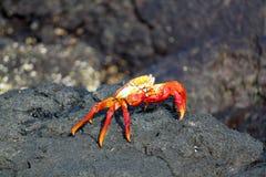 Rött vagga krabban i Galapagosen, Ecuador Arkivfoto