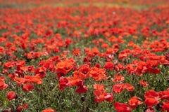 Rött vallmoblommafält fotografering för bildbyråer
