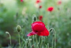 Rött vallmohuvud för närbild Vallmoblomning i sommarträdgården Arkivfoto