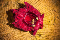 rött vatten för blomma arkivfoto