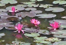 rött vatten för lilja arkivfoto