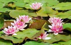 rött vatten för lilja royaltyfri bild