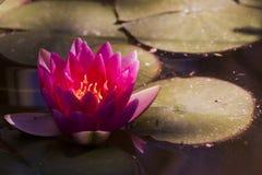 rött vatten för lilja Royaltyfria Bilder