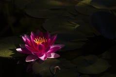 rött vatten för lilja Royaltyfri Foto