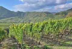 Rött vin som fotvandrar slingan, Ahr dal, Tyskland Royaltyfri Bild